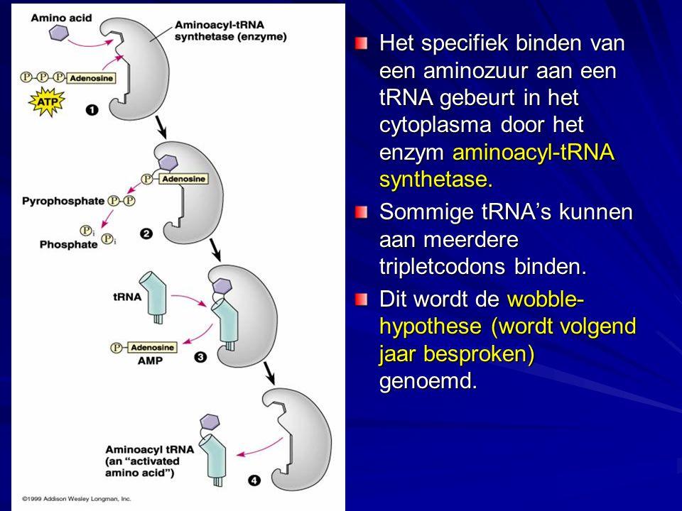 Het specifiek binden van een aminozuur aan een tRNA gebeurt in het cytoplasma door het enzym aminoacyl-tRNA synthetase. Sommige tRNA's kunnen aan meer