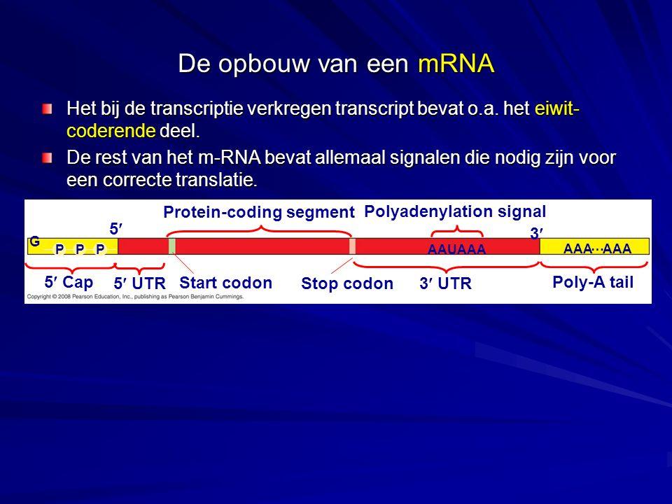 Protein-coding segment Polyadenylation signal 3 3 UTR5 UTR 5 5 Cap Start codon Stop codon Poly-A tail G PPPAAUAAA AAA … De opbouw van een mRNA Het bij