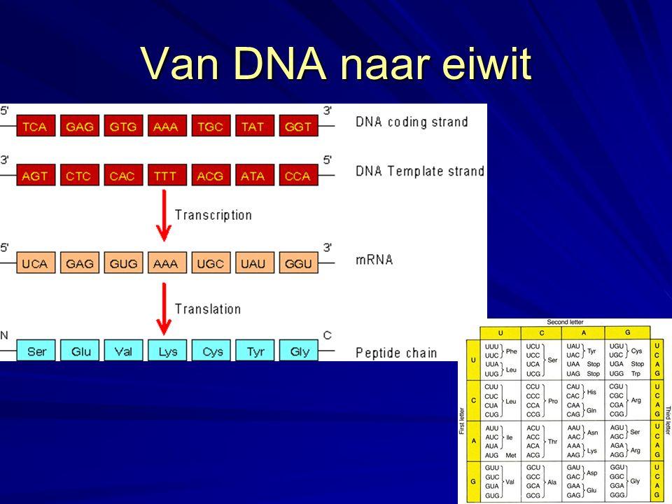 Van DNA naar eiwit