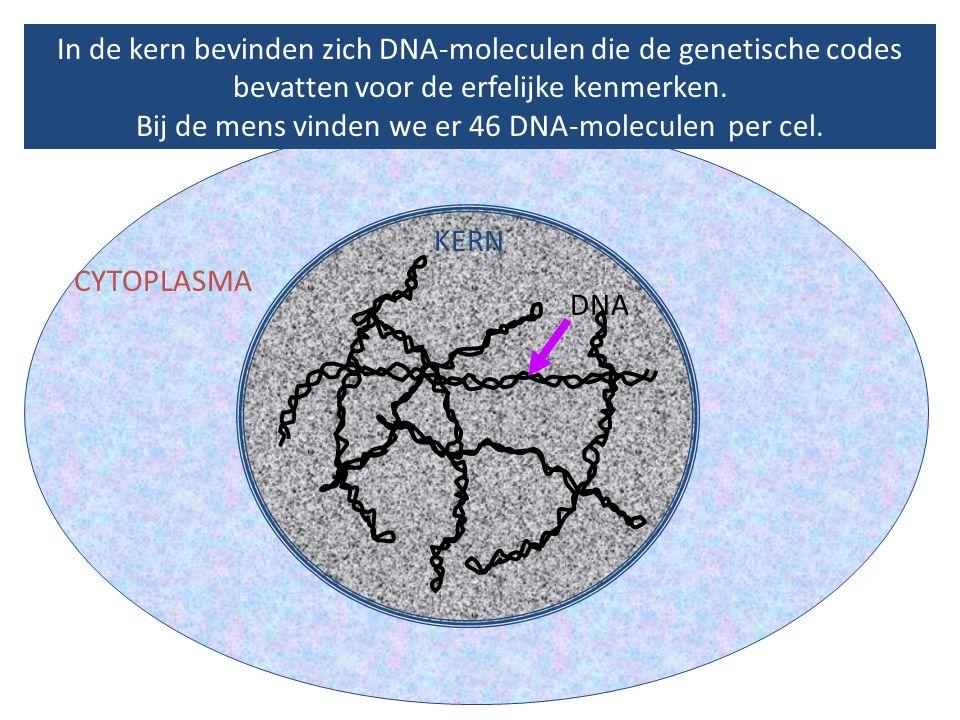In de kern bevinden zich DNA-moleculen die de genetische codes bevatten voor de erfelijke kenmerken. Bij de mens vinden we er 46 DNA-moleculen per cel