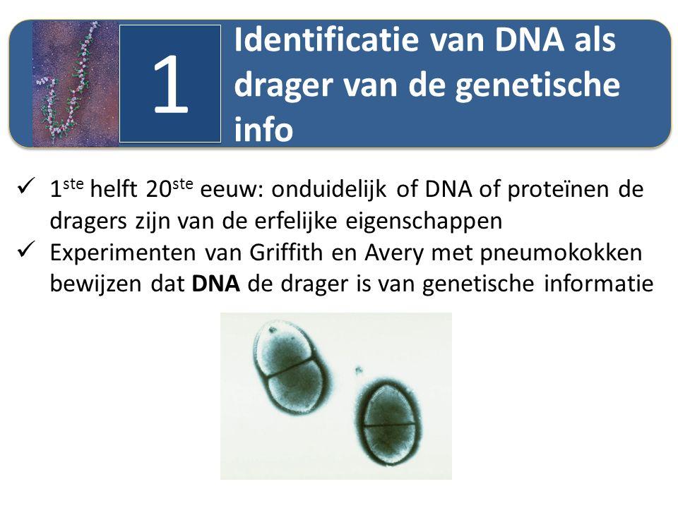 Identificatie van DNA als drager van de genetische info 1 1 1 ste helft 20 ste eeuw: onduidelijk of DNA of proteïnen de dragers zijn van de erfelijke
