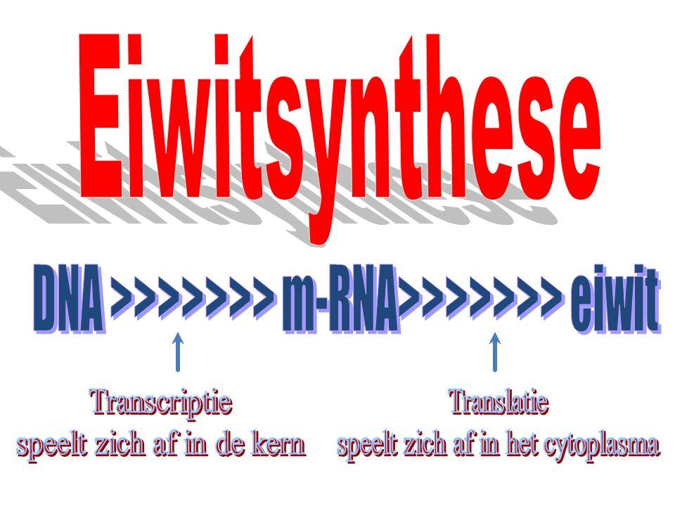4.1 Basensequentie in DNA (gen) Basensequentie in mRNA transcriptie