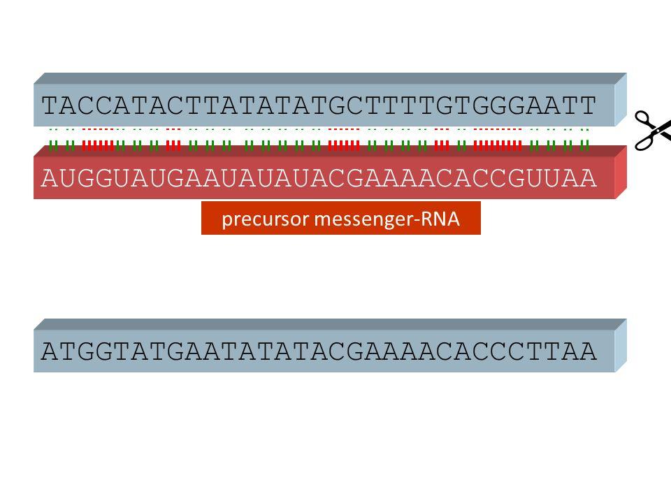 ATGGTATGAATATATACGAAAACACCCTTAA AUGGUAUGAAUAUAUACGAAAACACCGUUAA  TACCATACTTATATATGCTTTTGTGGGAATT precursor messenger-RNA