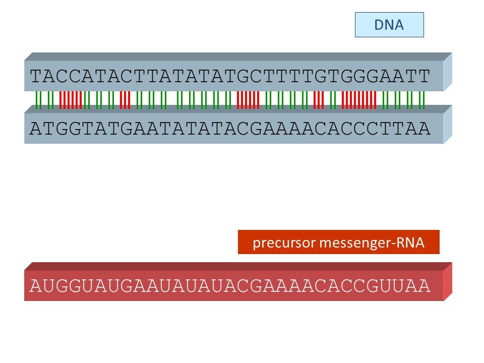 ATGGTATGAATATATACGAAAACACCCTTAA TACCATACTTATATATGCTTTTGTGGGAATT AUGGUAUGAAUAUAUACGAAAACACCGUUAA DNA precursor messenger-RNA