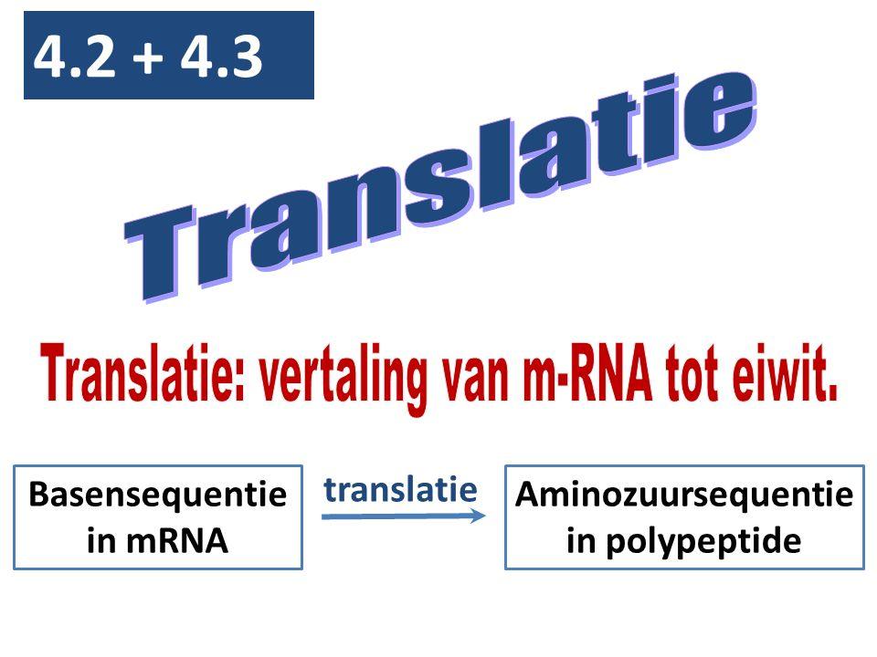 4.2 + 4.3 Basensequentie in mRNA Aminozuursequentie in polypeptide translatie