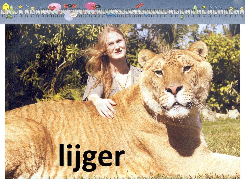 lijger