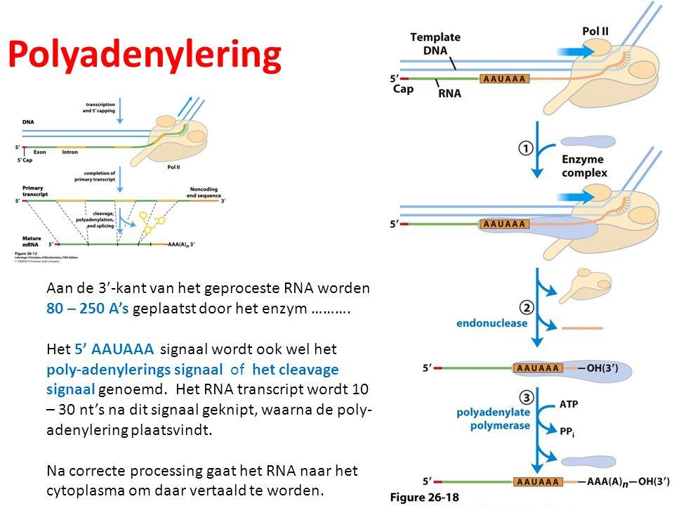 Polyadenylering Aan de 3'-kant van het geproceste RNA worden 80 – 250 A's geplaatst door het enzym ………. Het 5' AAUAAA signaal wordt ook wel het poly-a