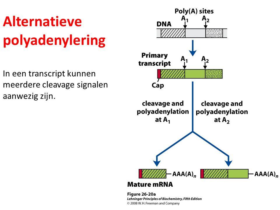 Alternatieve polyadenylering In een transcript kunnen meerdere cleavage signalen aanwezig zijn.