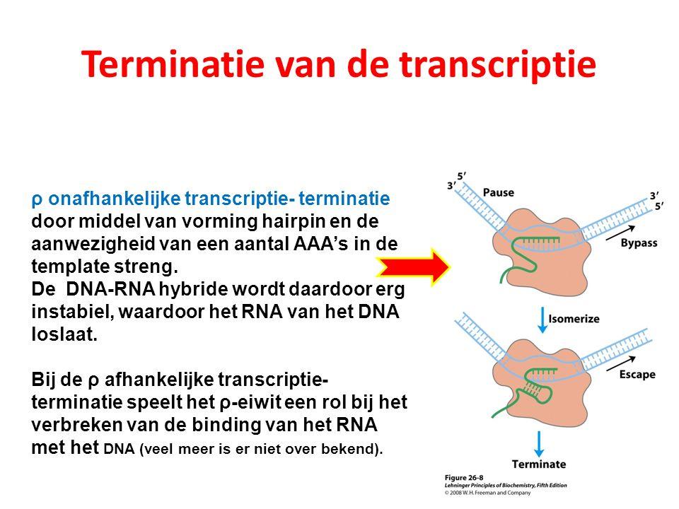 ρ onafhankelijke transcriptie- terminatie door middel van vorming hairpin en de aanwezigheid van een aantal AAA's in de template streng. De DNA-RNA hy