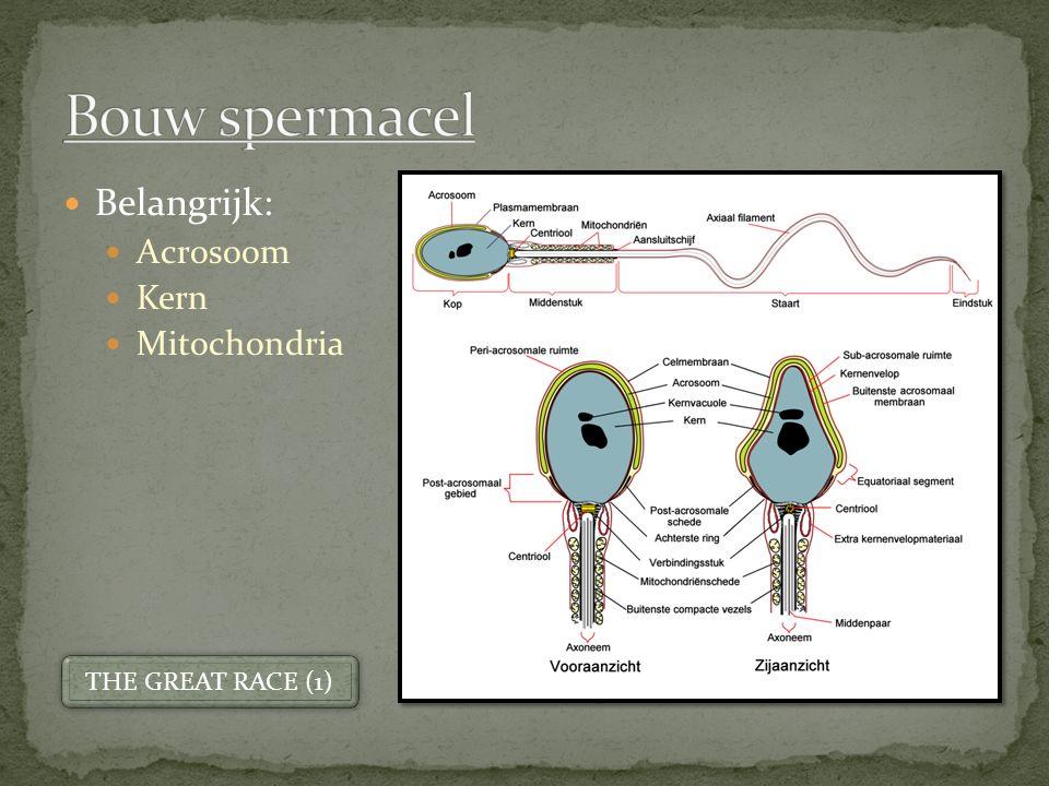 Belangrijk: Acrosoom Kern Mitochondria THE GREAT RACE (1)