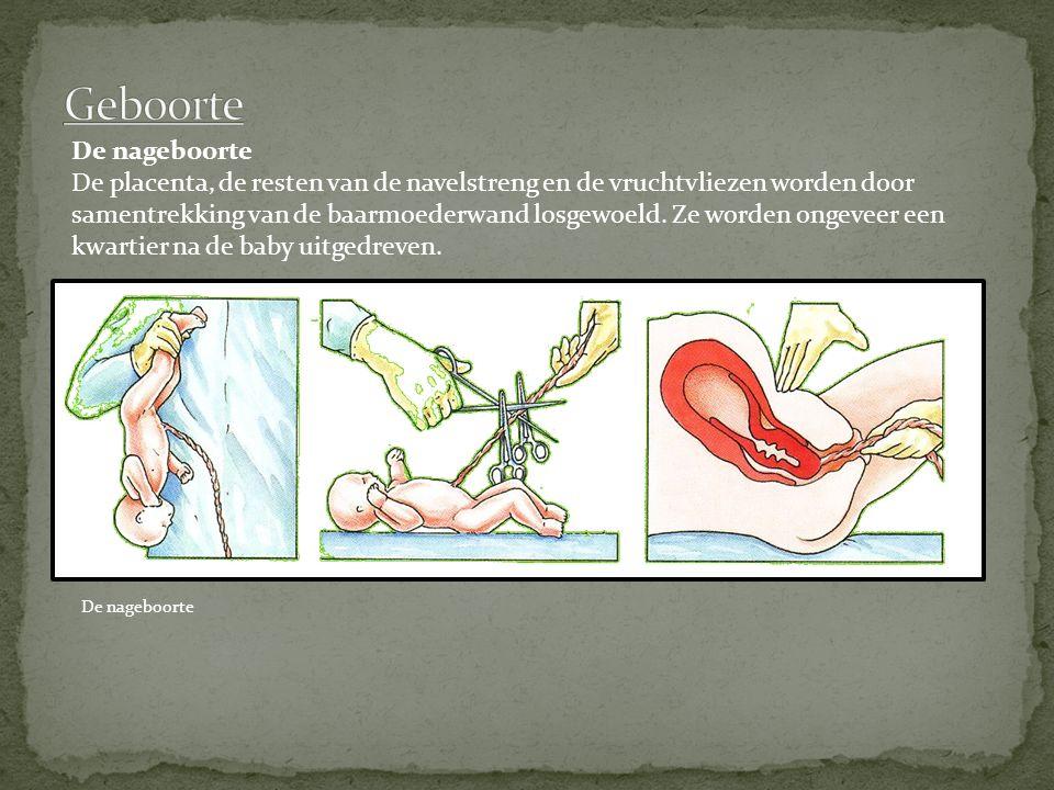 De nageboorte De placenta, de resten van de navelstreng en de vruchtvliezen worden door samentrekking van de baarmoederwand losgewoeld. Ze worden onge