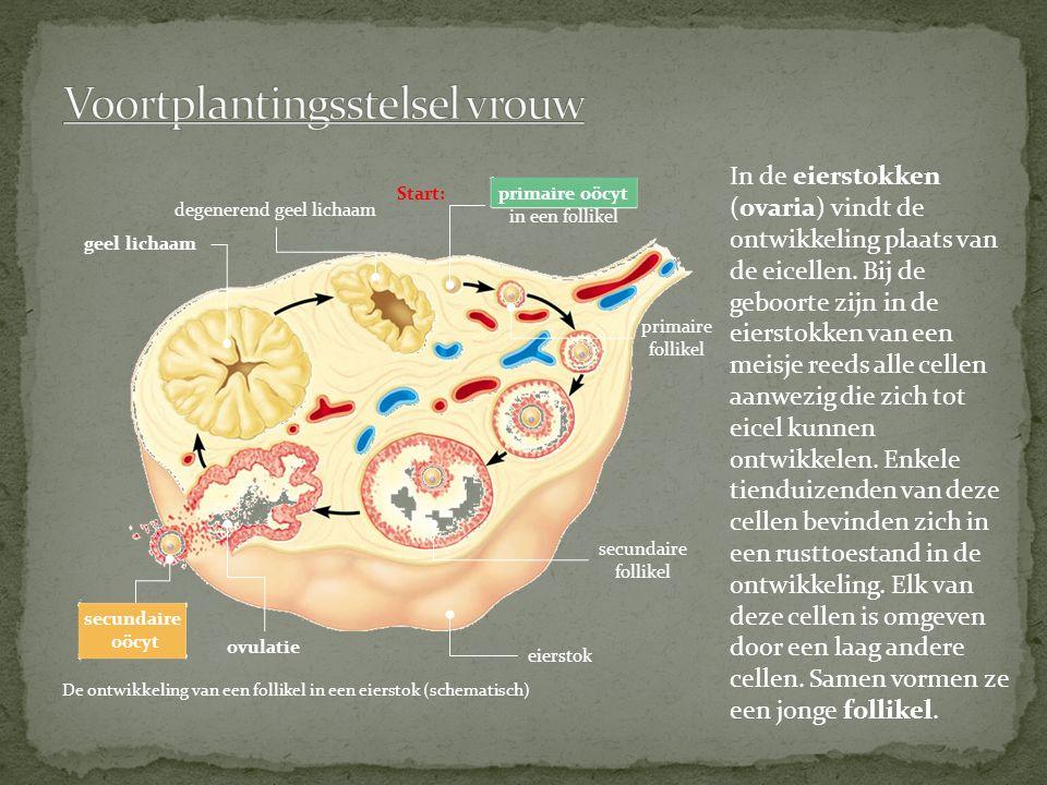 secundaire oöcyt primaire oöcyt in een follikel secundaire follikel eierstok primaire follikel ovulatie geel lichaam degenerend geel lichaam Start: De