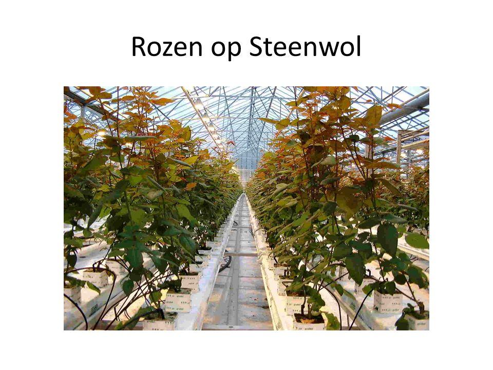 Rozen op Steenwol