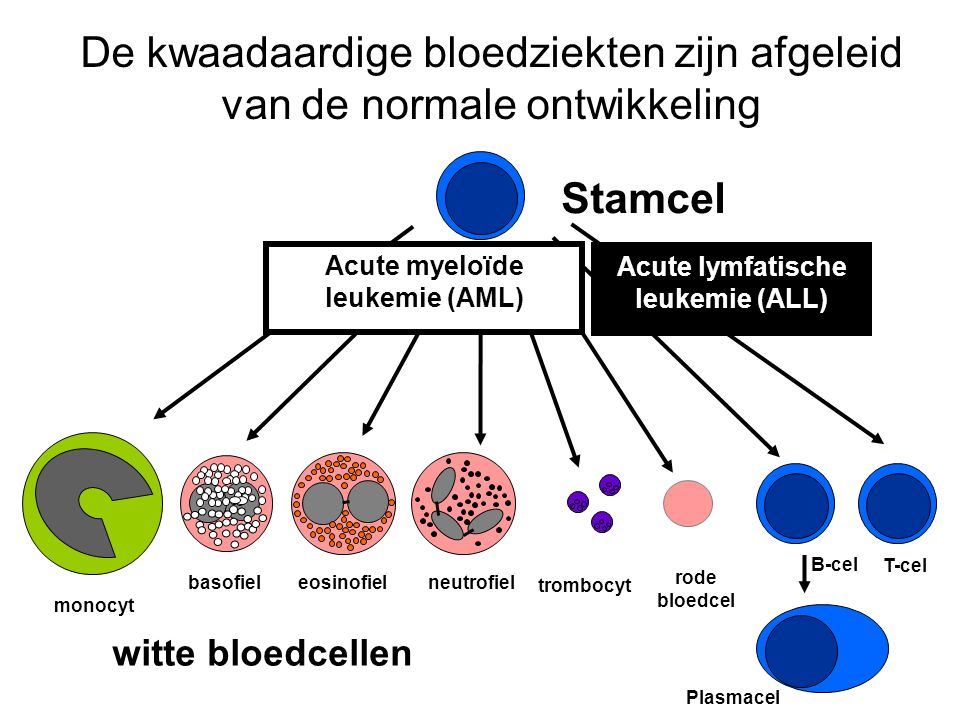 Bij acute leukemie gaan de stamcellen door een fout ongecontroleerd delen en rijpen ze niet meer uit tot gewone bloedcellen Stamcel wordt leukemieblast