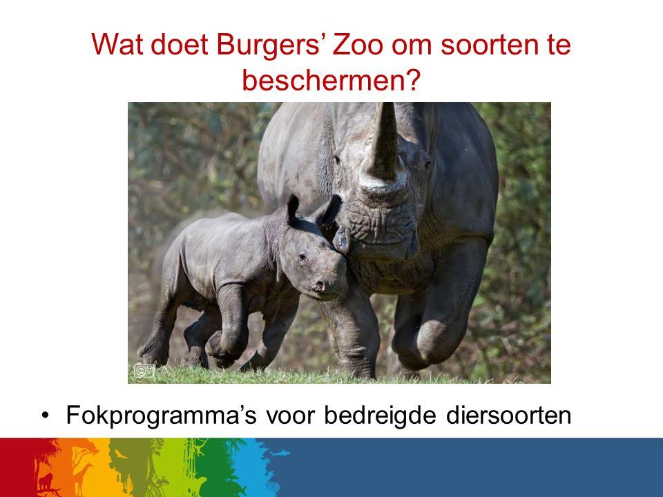 Fokprogramma's voor bedreigde diersoorten Wat doet Burgers' Zoo om soorten te beschermen?