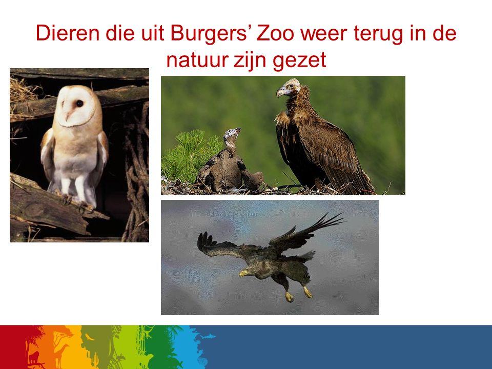 Dieren die uit Burgers' Zoo weer terug in de natuur zijn gezet de kerkuil