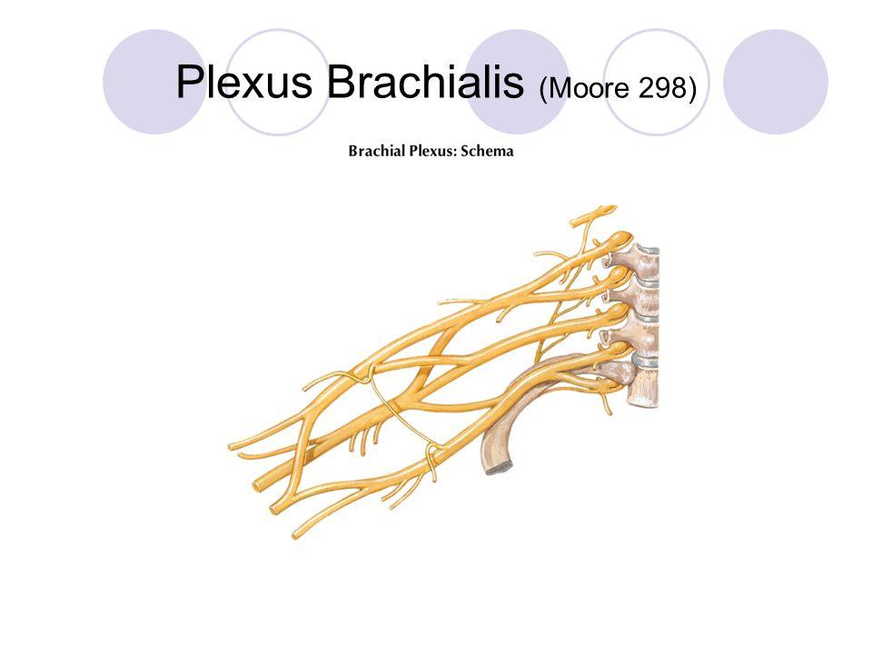 C5C6C7 C8Th1 Truncus superior Truncus medius Truncus inferior Fasciculus lateralis Fasciculus posterior Fasciculus medialis M AR UMC A = n.axillaris R = n.radialis MC = n.musculocutaneus M = n.medianus U = n.ulnaris