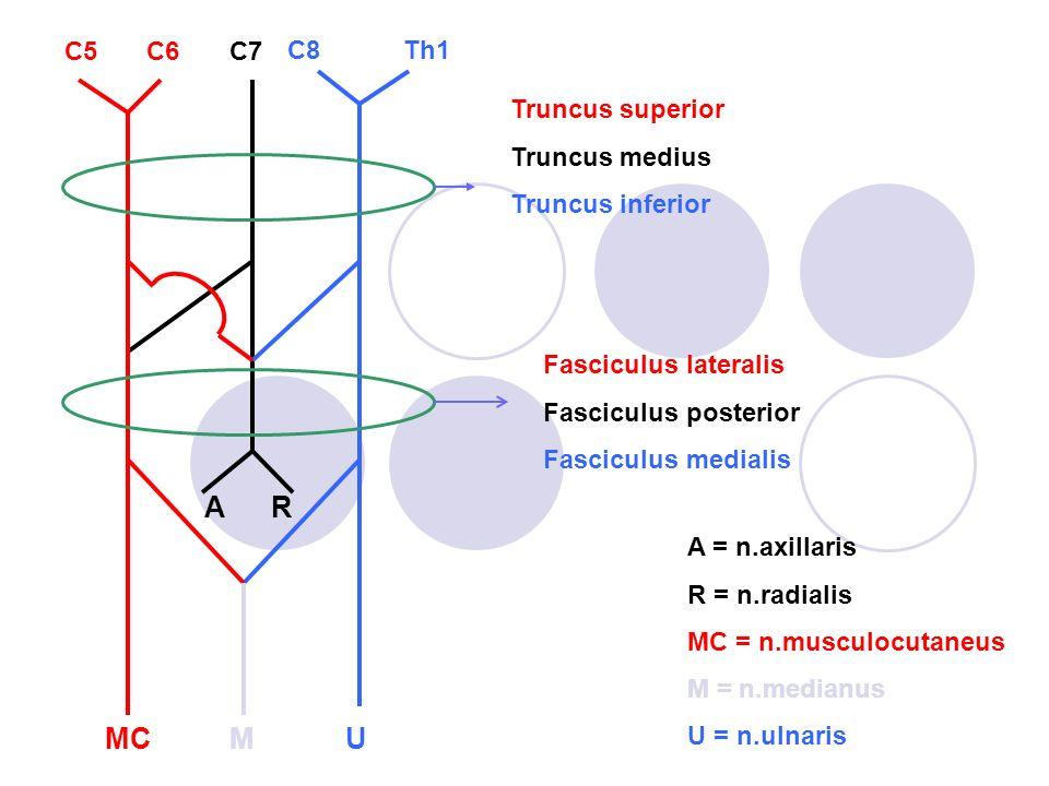 n.axillaris Terminale tak van de fasciculus posterior.