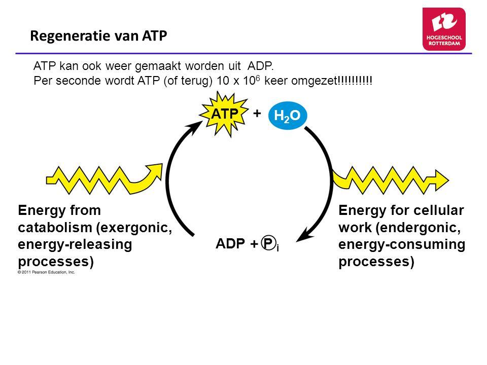 Regeneratie van ATP Energy from catabolism (exergonic, energy-releasing processes) Energy for cellular work (endergonic, energy-consuming processes) A