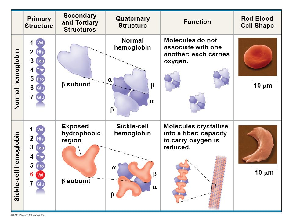Primary Structure Secondary and Tertiary Structures Quaternary Structure Function Red Blood Cell Shape  subunit     Exposed hydrophobic region Molecules do not associate with one another; each carries oxygen.