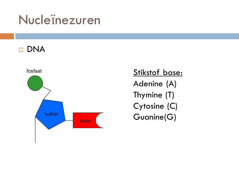  DNA Nucle ï nezuren Stikstof base: Adenine (A) Thymine (T) Cytosine (C) Guanine(G)