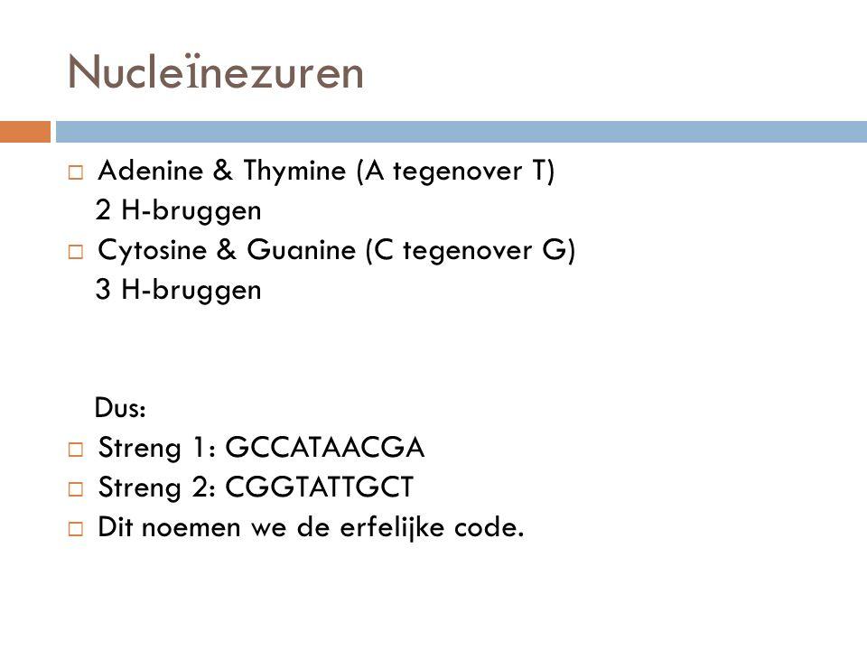 Adenine & Thymine (A tegenover T) 2 H-bruggen  Cytosine & Guanine (C tegenover G) 3 H-bruggen Dus:  Streng 1: GCCATAACGA  Streng 2: CGGTATTGCT 