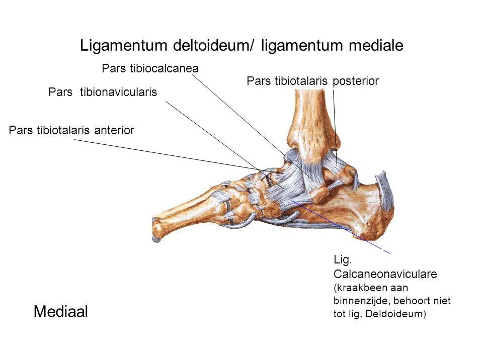 Ligamentum deltoideum/ ligamentum mediale Pars tibiotalaris anterior Pars tibionavicularis Pars tibiocalcanea Pars tibiotalaris posterior Lig. Calcane