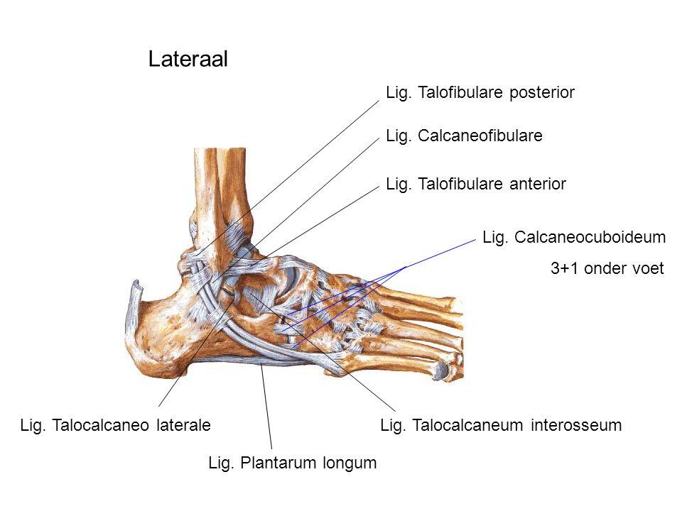 Lig. Talofibulare posterior Lig. Calcaneofibulare Lig. Talofibulare anterior Lig. Talocalcaneo lateraleLig. Talocalcaneum interosseum Lig. Calcaneocub
