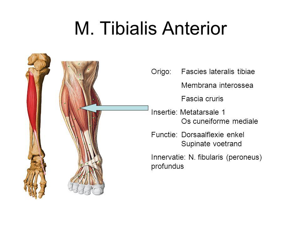 M. Tibialis Anterior Origo: Fascies lateralis tibiae Membrana interossea Fascia cruris Insertie: Metatarsale 1 Os cuneiforme mediale Functie: Dorsaalf