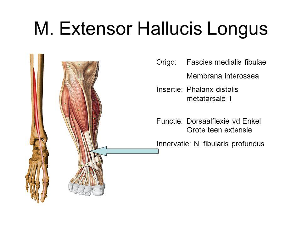 M. Extensor Hallucis Longus Origo:Fascies medialis fibulae Membrana interossea Insertie:Phalanx distalis metatarsale 1 Functie: Dorsaalflexie vd Enkel
