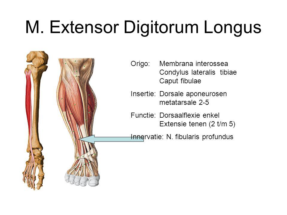 M. Extensor Digitorum Longus Origo: Membrana interossea Condylus lateralis tibiae Caput fibulae Insertie:Dorsale aponeurosen metatarsale 2-5 Functie: