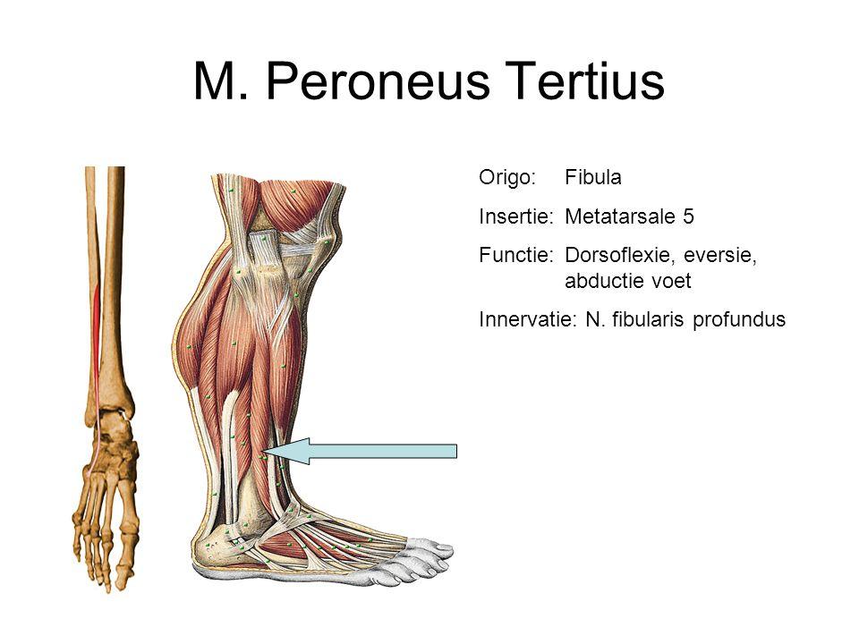 M. Peroneus Tertius Origo:Fibula Insertie:Metatarsale 5 Functie:Dorsoflexie, eversie, abductie voet Innervatie: N. fibularis profundus