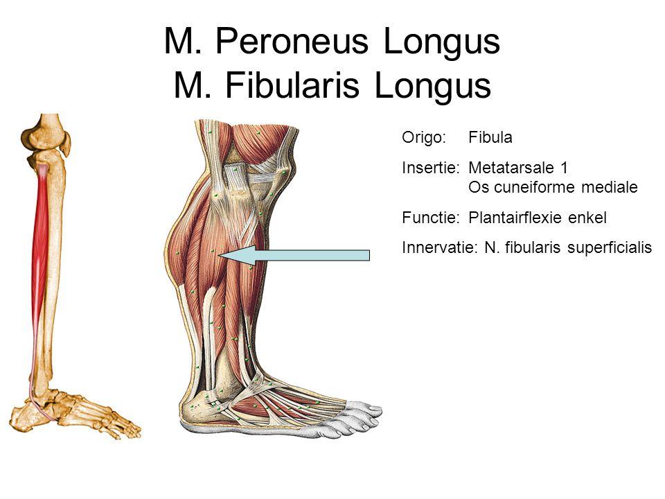 M. Peroneus Longus M. Fibularis Longus Origo: Fibula Insertie:Metatarsale 1 Os cuneiforme mediale Functie:Plantairflexie enkel Innervatie: N. fibulari