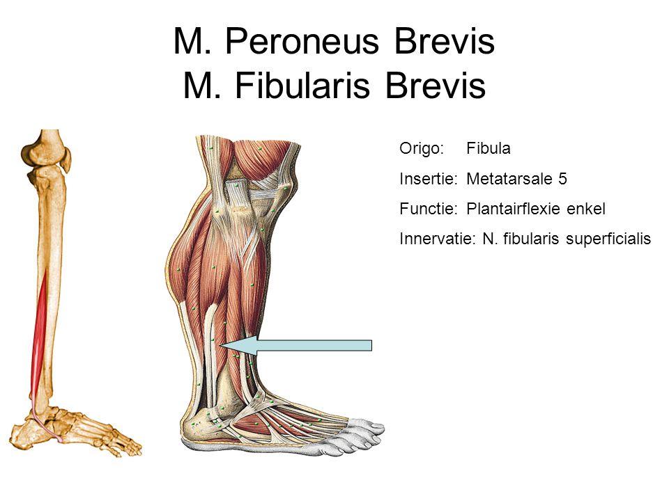 M. Peroneus Brevis M. Fibularis Brevis Origo:Fibula Insertie:Metatarsale 5 Functie:Plantairflexie enkel Innervatie: N. fibularis superficialis