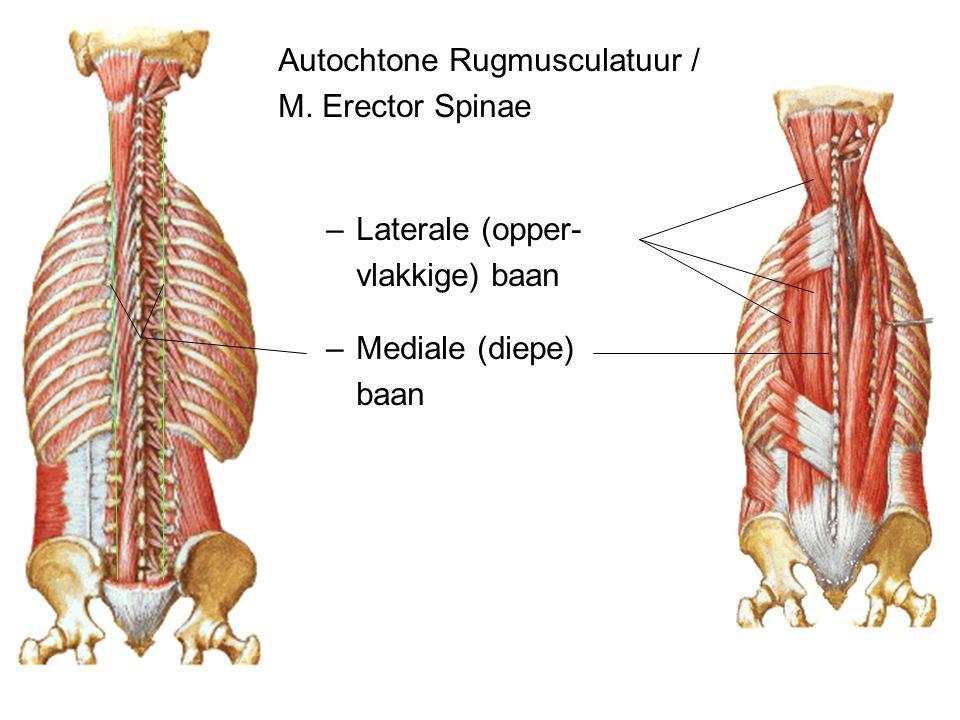 Autochtone Rugmusculatuur / M. Erector Spinae –Laterale (opper- vlakkige) baan –Mediale (diepe) baan