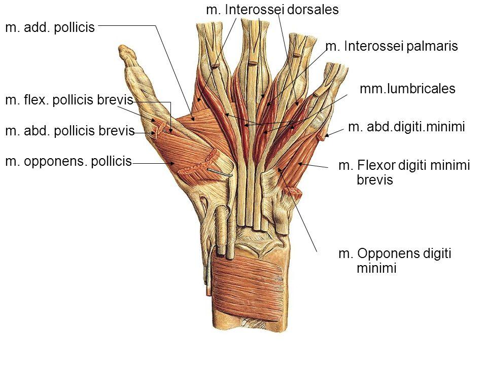 m. abd. pollicis brevis m. flex. pollicis brevis m. opponens. pollicis m. add. pollicis m. abd.digiti.minimi m. Opponens digiti minimi m. Flexor digit