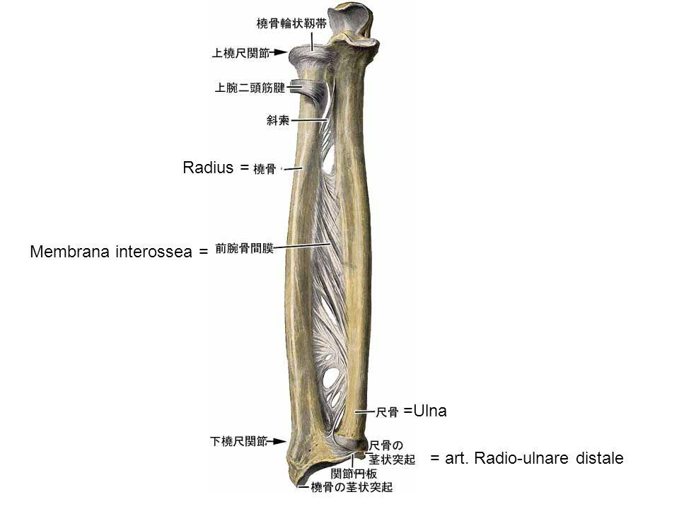 Radius = Membrana interossea = = art. Radio-ulnare distale =Ulna