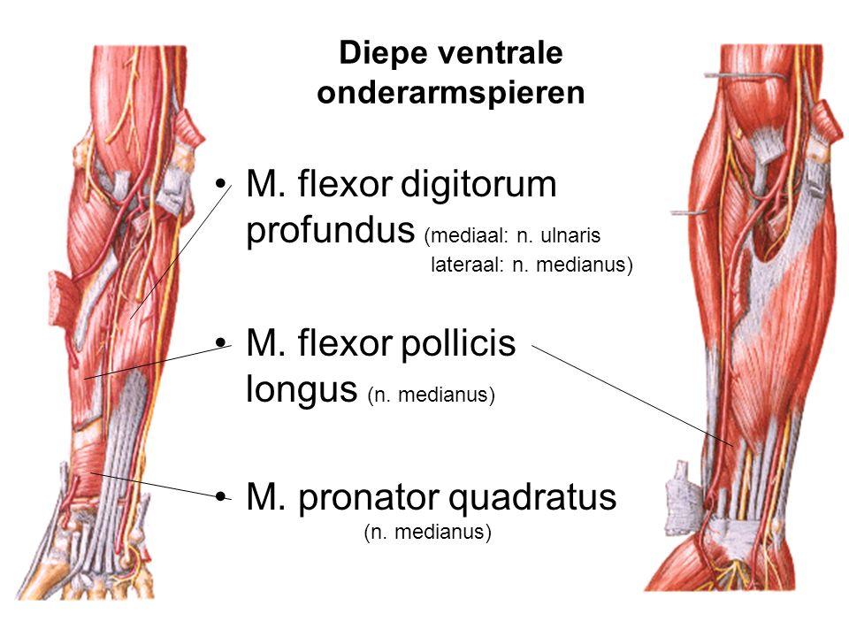 Diepe ventrale onderarmspieren M. flexor digitorum profundus (mediaal: n. ulnaris lateraal: n. medianus) M. flexor pollicis longus (n. medianus) M. pr