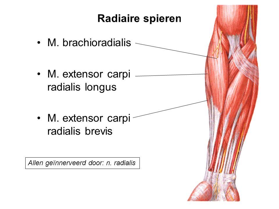 Radiaire spieren M. brachioradialis M. extensor carpi radialis longus M. extensor carpi radialis brevis Allen geïnnerveerd door: n. radialis