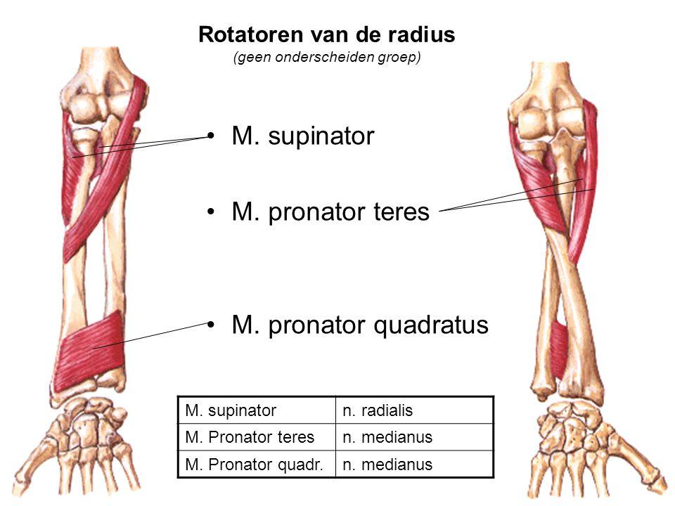 Rotatoren van de radius (geen onderscheiden groep) M. supinator M. pronator teres M. pronator quadratus M. supinatorn. radialis M. Pronator teresn. me