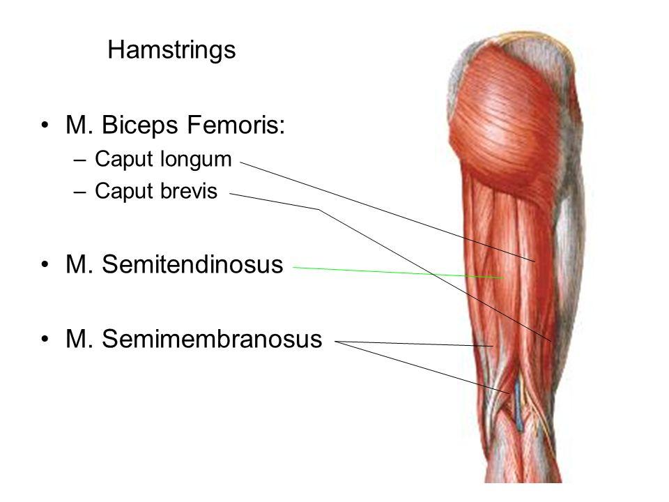 Hamstrings M. Biceps Femoris: –Caput longum –Caput brevis M. Semitendinosus M. Semimembranosus