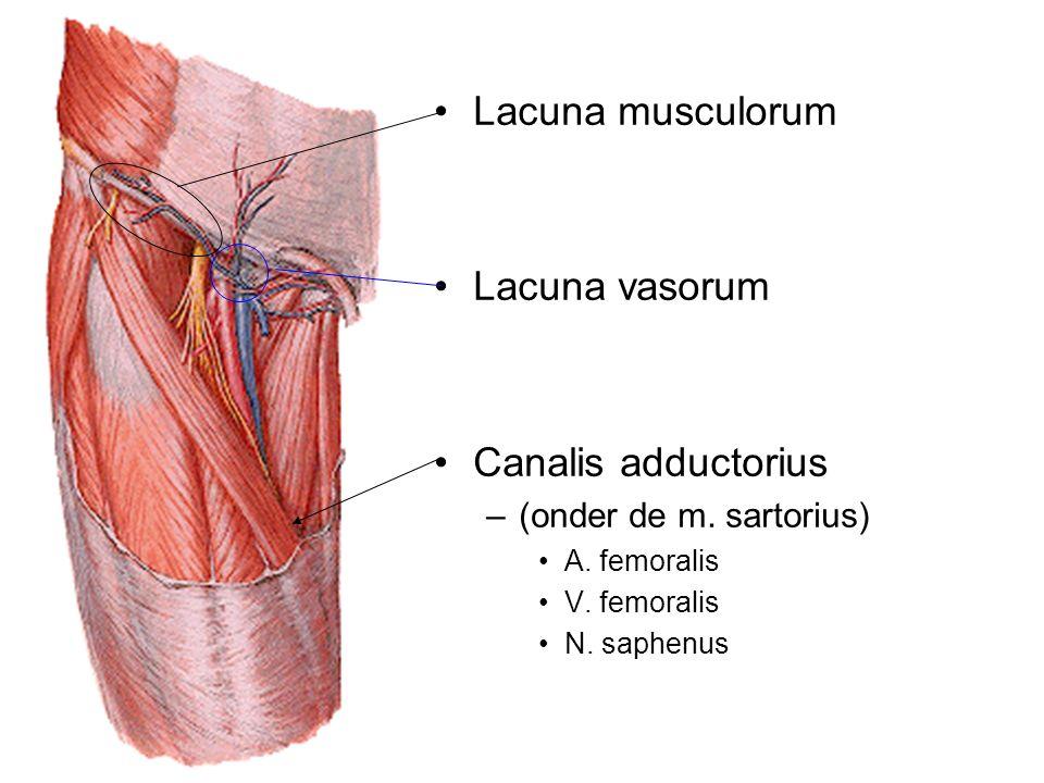 Lacuna musculorum Lacuna vasorum Canalis adductorius –(onder de m. sartorius) A. femoralis V. femoralis N. saphenus