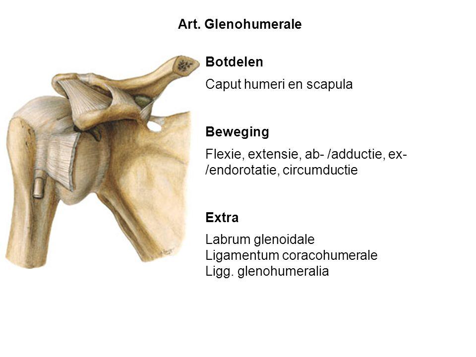 Botdelen Caput humeri en scapula Beweging Flexie, extensie, ab- /adductie, ex- /endorotatie, circumductie Extra Labrum glenoidale Ligamentum coracohum