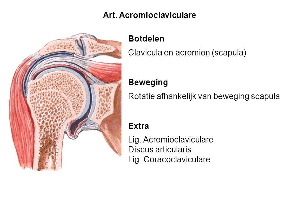 Botdelen Clavicula en acromion (scapula) Beweging Rotatie afhankelijk van beweging scapula Extra Lig. Acromioclaviculare Discus articularis Lig. Corac