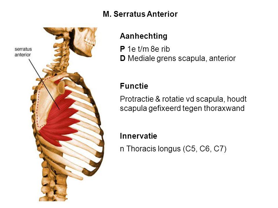 Aanhechting P 1e t/m 8e rib D Mediale grens scapula, anterior Functie Protractie & rotatie vd scapula, houdt scapula gefixeerd tegen thoraxwand Innerv