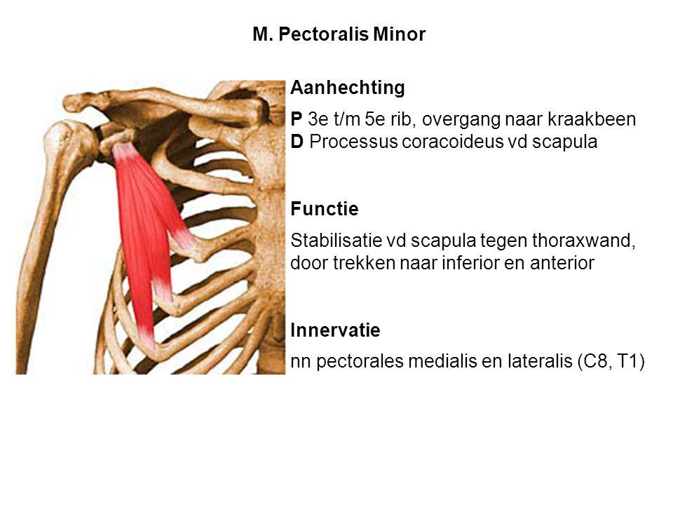 Aanhechting P 3e t/m 5e rib, overgang naar kraakbeen D Processus coracoideus vd scapula Functie Stabilisatie vd scapula tegen thoraxwand, door trekken