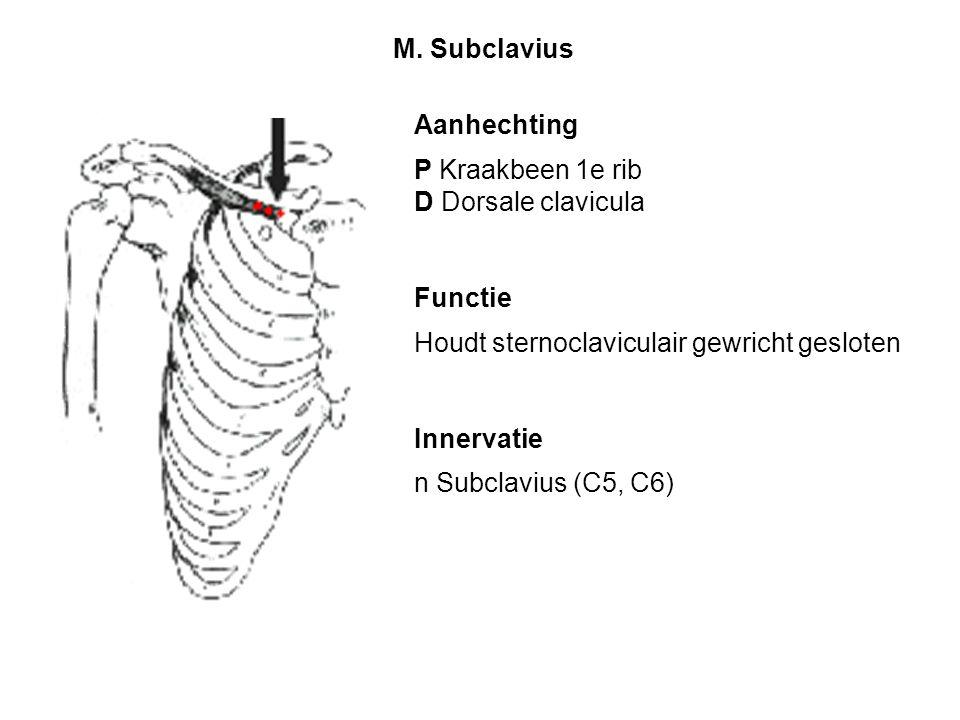 Aanhechting P Kraakbeen 1e rib D Dorsale clavicula Functie Houdt sternoclaviculair gewricht gesloten Innervatie n Subclavius (C5, C6) M. Subclavius