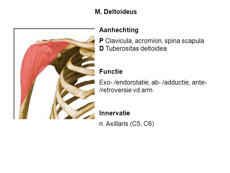 Aanhechting P Clavicula, acromion, spina scapula D Tuberositas deltoidea Functie Exo- /endorotatie, ab- /adductie, ante- /retroversie vd arm Innervati