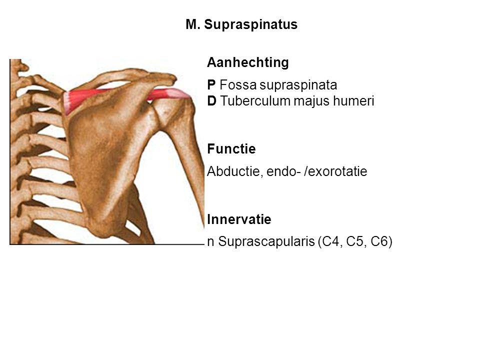 Aanhechting P Fossa supraspinata D Tuberculum majus humeri Functie Abductie, endo- /exorotatie Innervatie n Suprascapularis (C4, C5, C6) M. Supraspina
