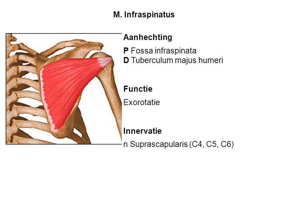 Aanhechting P Fossa infraspinata D Tuberculum majus humeri Functie Exorotatie Innervatie n Suprascapularis (C4, C5, C6) M. Infraspinatus